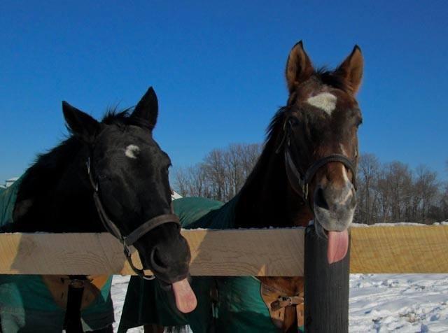 Blackie and Gala tongues