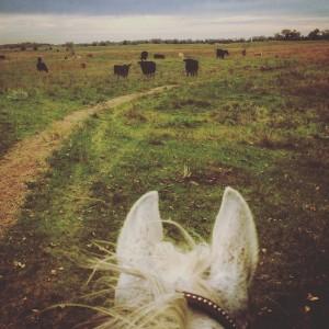 dreaded-cows